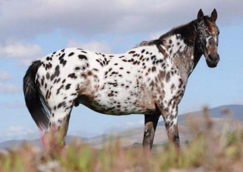 аппалуза лошадь