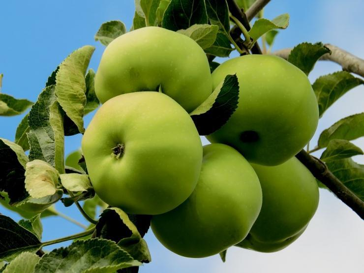 яблони для сибири