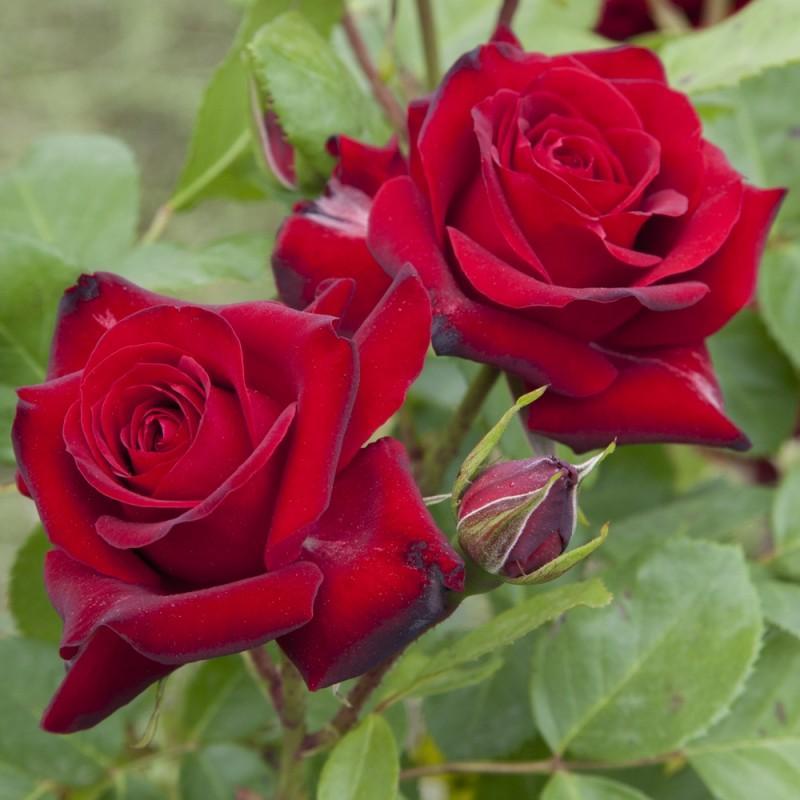 никколо паганини роза