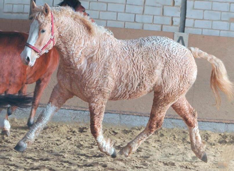 Американская кудрявая лошадь