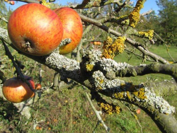 лишайник на яблоне