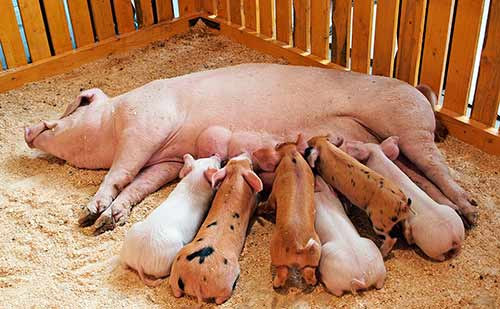 чем кормить свиноматку после опороса