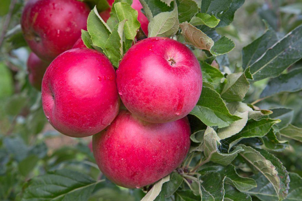источник брянское алое яблоня описание фото тают понемногу