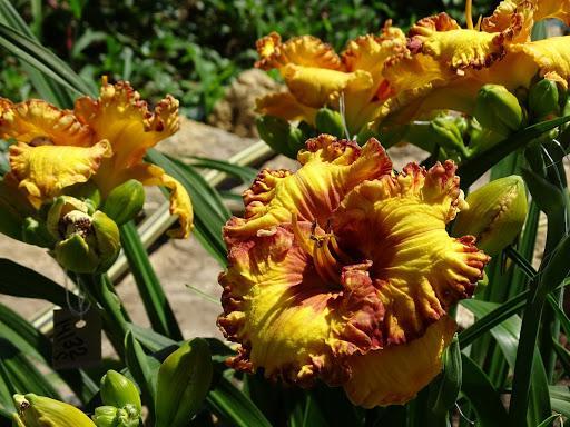 лилейники цветы