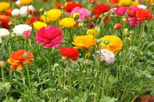 лютики садовые