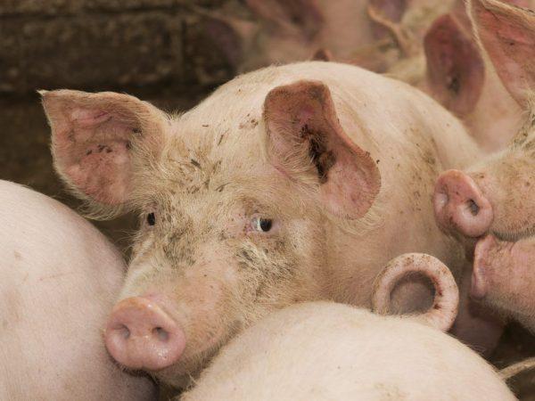 большая свинья