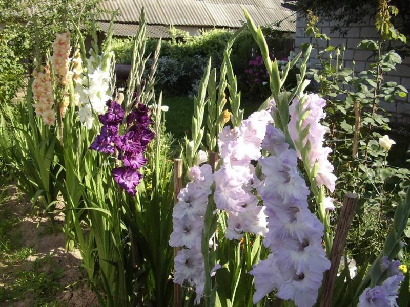уход за гладиолусами после цветения