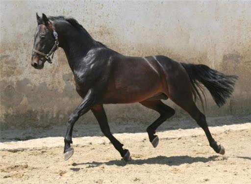 русская верховая порода лошадей