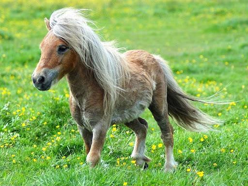 фалабелла лошадь