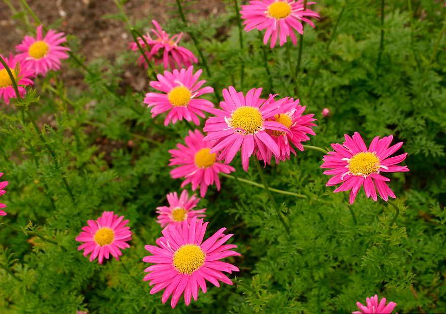 пиретрум розовые