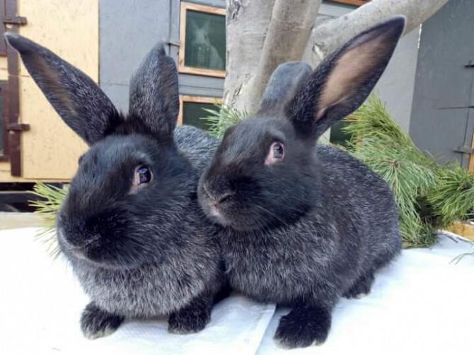 кролики серебро полтавское