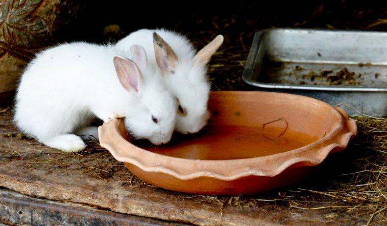 поение кроликов