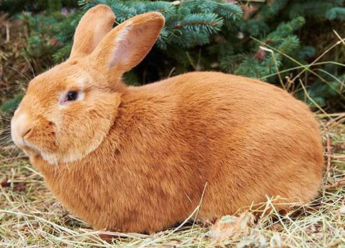 кролики Бургундский