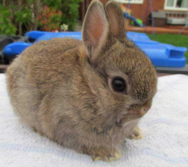 нидерландский кролик карликовый