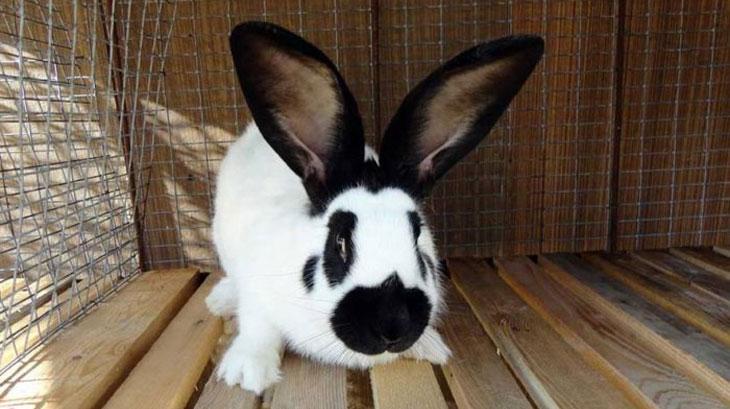 Строкач кролик