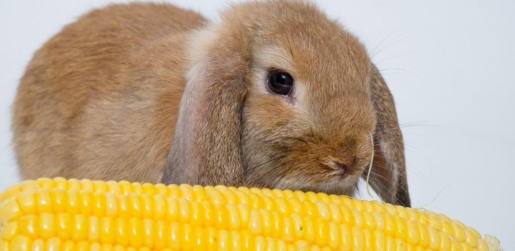 кукуруза ля кроликов