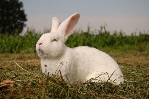 кролик акселерат