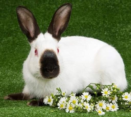 гималайский кролик