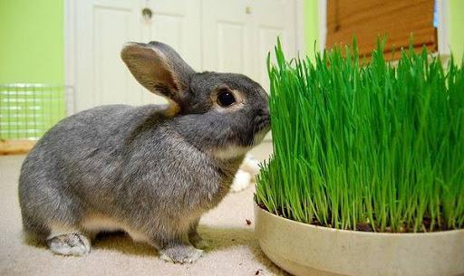трава кролику