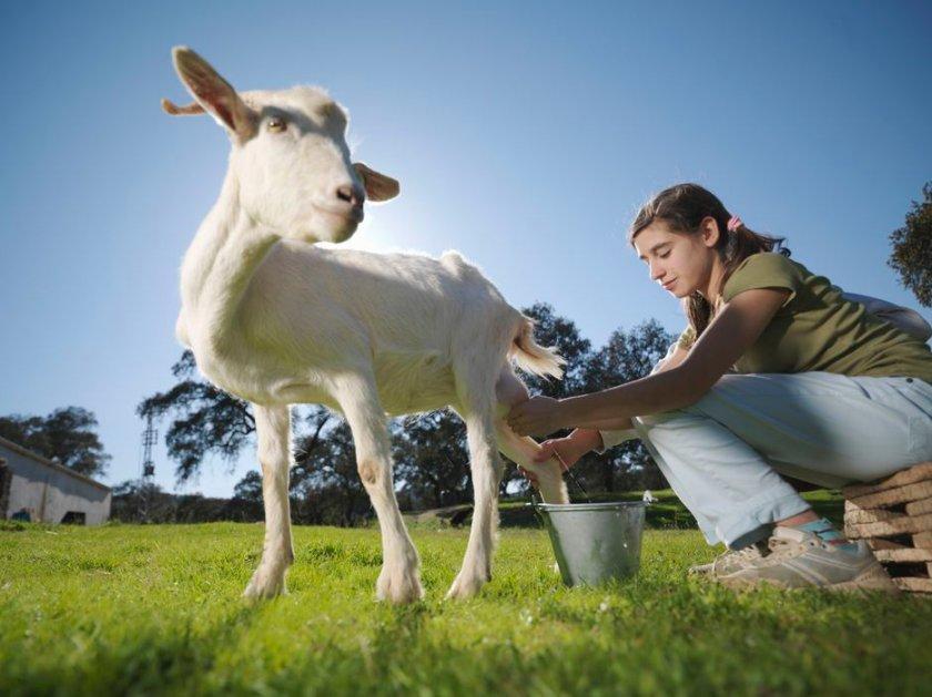 коза не отдает молоко полностью