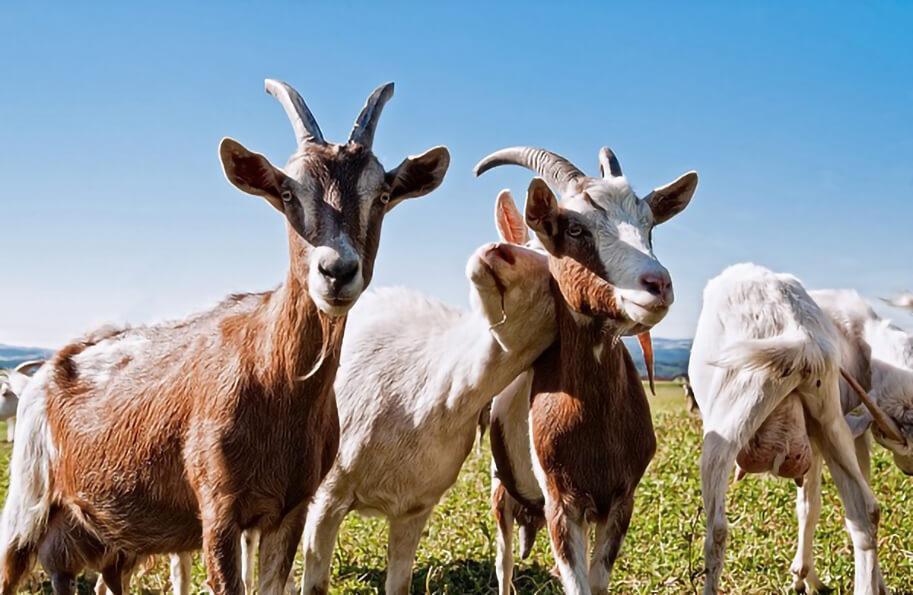 много коз