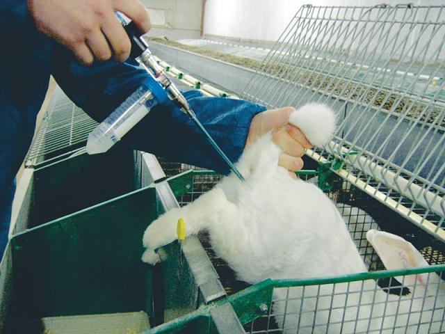 осеменение кроликов искусственное