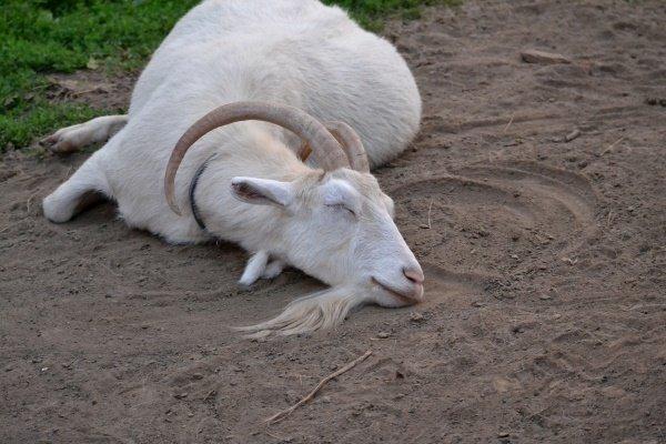 кетоз у коз