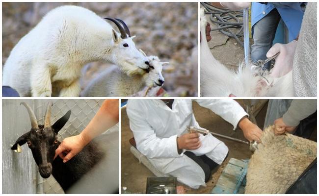 искусственное осеменение коз