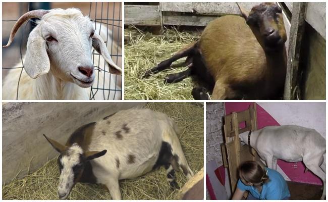 послеродовой парез у козы симптомы и лечение