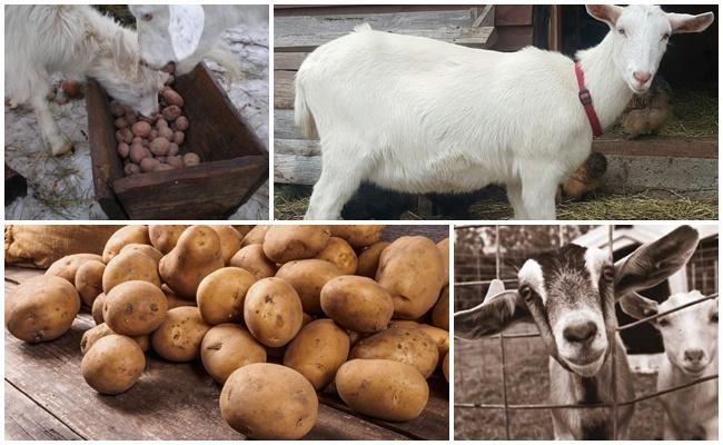 картошку козам