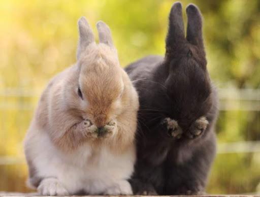 ресчесывание кроликов