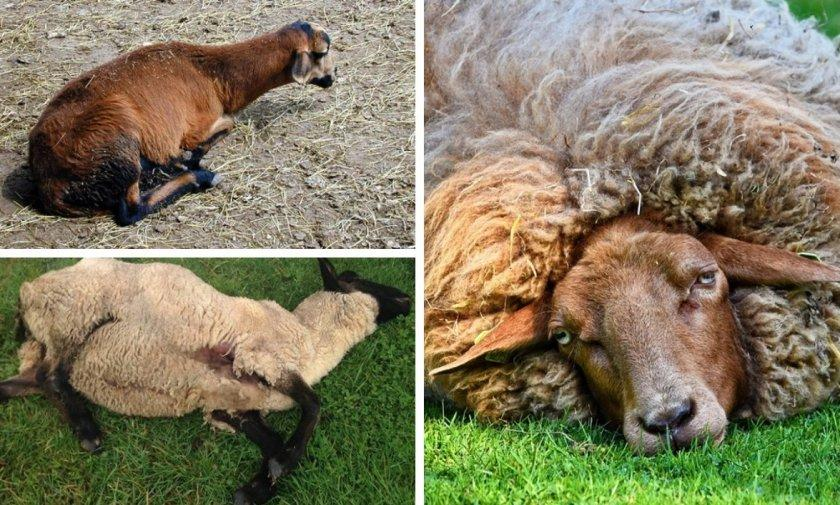 энтеротоксемия овец