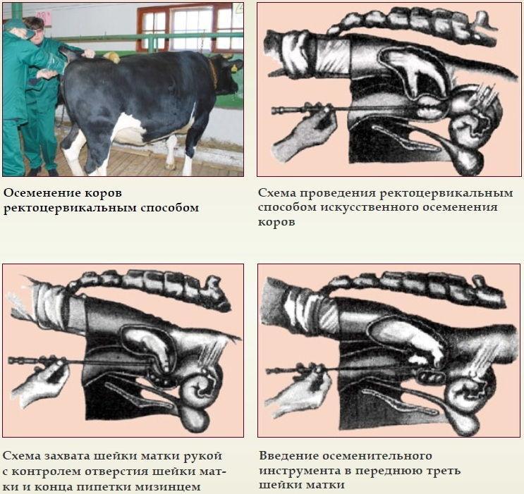 Описание визоцервикального способа осеменения коров, инструменты и схема