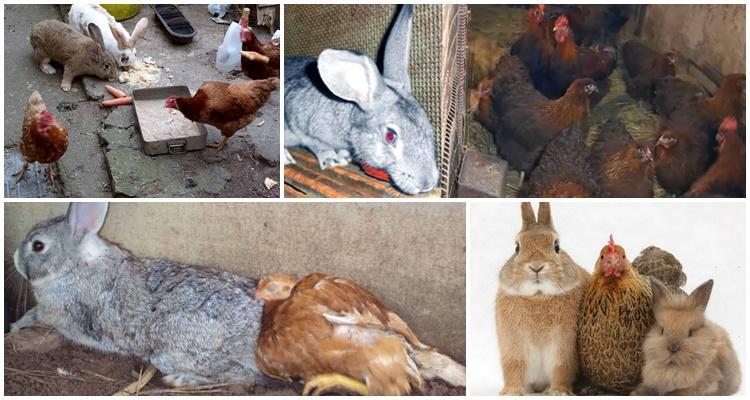 кролики и куры