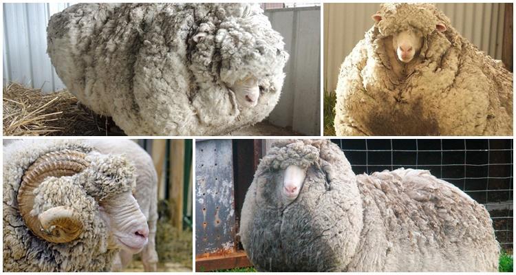 Суффолкских мясо-шерстных овец