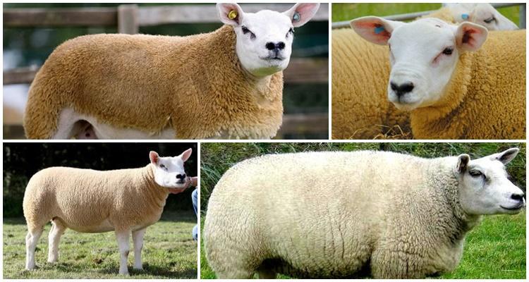 тексель порода овец