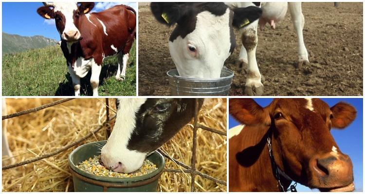 корова объелась дробленки что делать