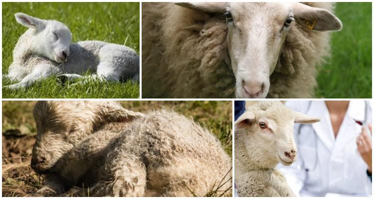 ценуроз овец лечение