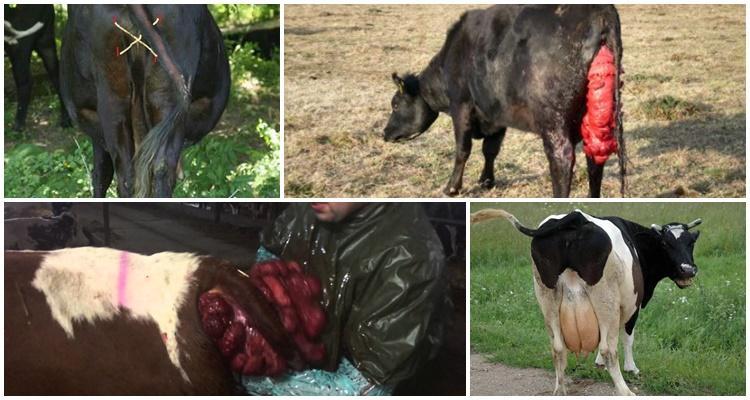 выпадение матки у коровы
