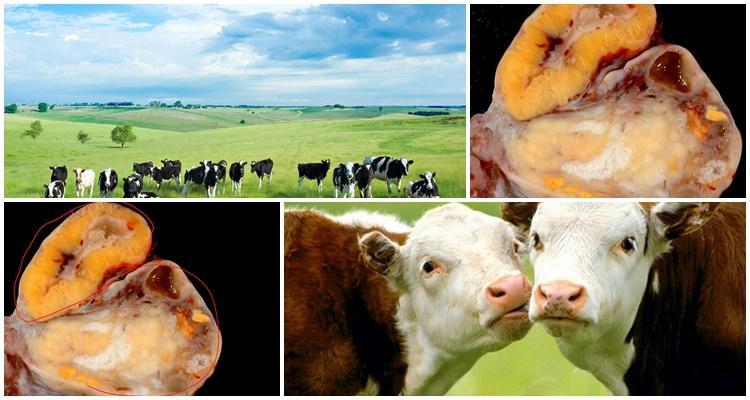 гипофункция яичников у коров