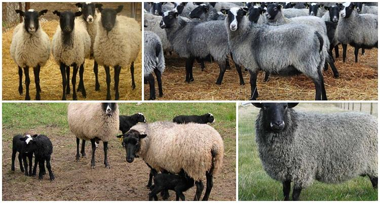 разные овцы