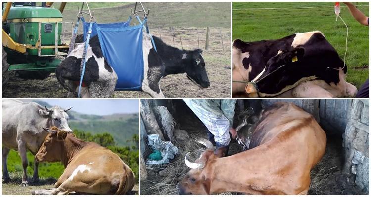 как поднять корову после залеживания без лебедки