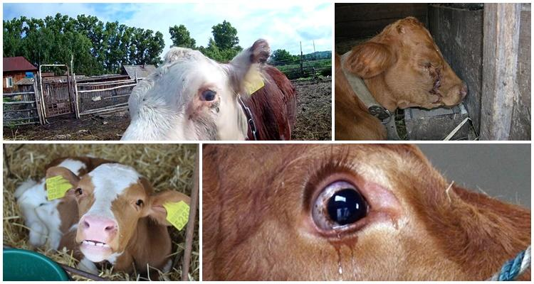 слезятся глаза у теленка