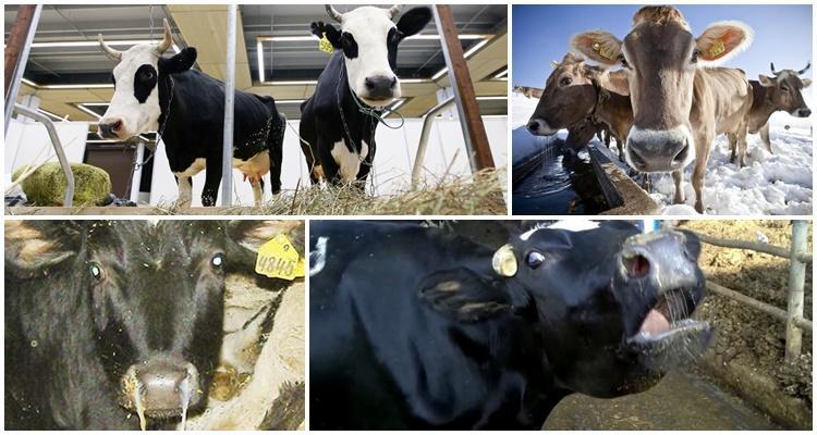 парагрипп 3 крупного рогатого скота