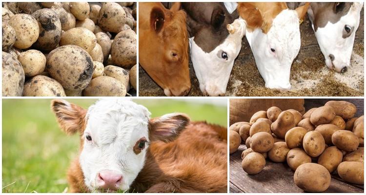 картофель корове
