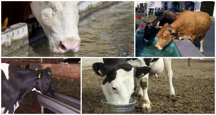 корова пьет воду