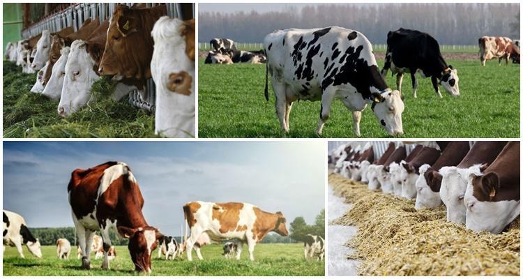 фуражная корова