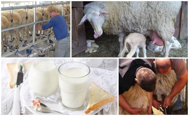 доение овцы