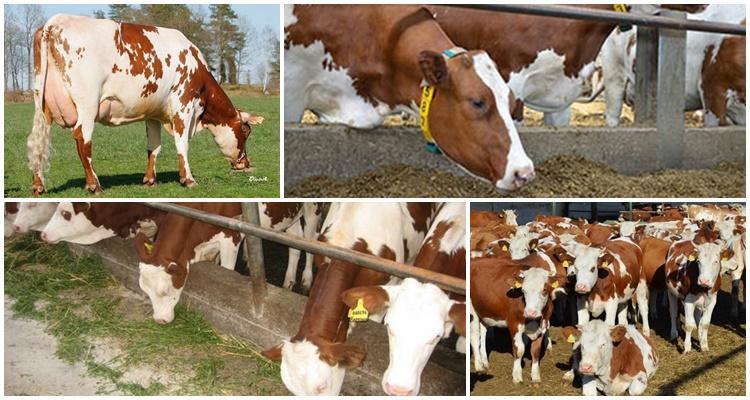 красно пестрая порода коров