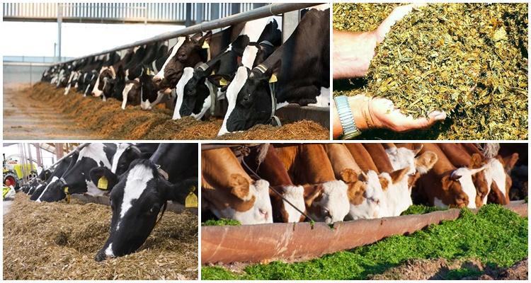 корова и силос